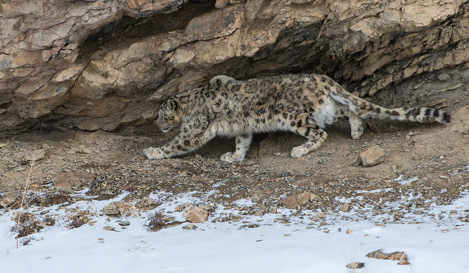 Snow Leopard Photography Tour - Spiti Valley in Winter